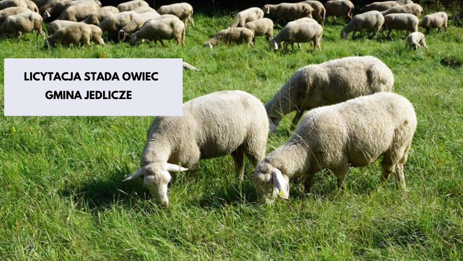 Licytacja stada owiec- prośba Burmistrz Gminy Jedlicze - zdjęcie główne