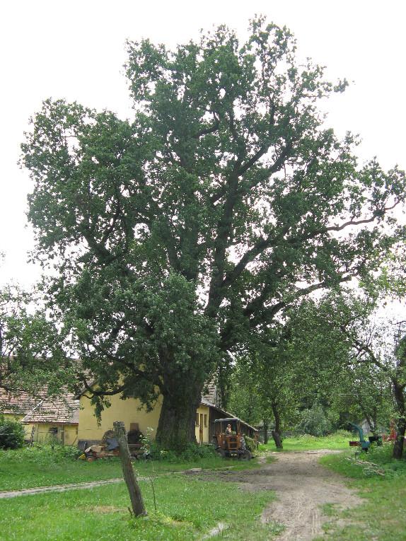 Dąb szypułkowy Stara Wieś